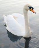 Natação de flutuação da cisne bonita foto de stock royalty free