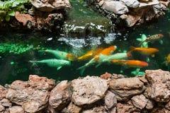 Natação de Koi Carps Fish na lagoa em Wat Borom Raja Kanjanapisek W Fotografia de Stock
