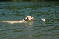 Natação de Labrador com pato Foto de Stock Royalty Free