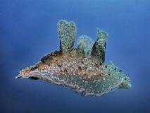 Natação de Melibe no mar azul foto de stock