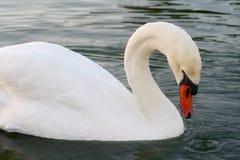 Natação de Olor do Cygnus da cisne muda e alimentação no lago foto de stock