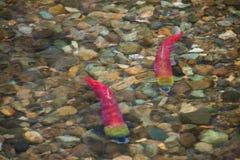 Natação desovando colorida dos salmões de Sockeye em um rio foto de stock royalty free