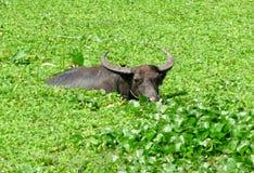 Natação do búfalo de água Fotos de Stock Royalty Free