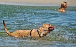 Natação do cão de estimação & água da agitação na praia do mar Fotografia de Stock