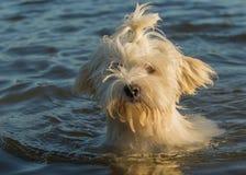 Natação do cão de Havanese foto de stock