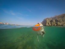 Natação do cão de Labrador com opiniões de Curaçau do frisbee Fotografia de Stock Royalty Free