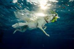 Natação do cão em uma associação fotos de stock royalty free