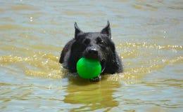 Natação do cão na água com bola verde Fotos de Stock Royalty Free