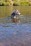 Natação do cão no rio foto de stock royalty free