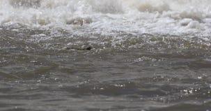 Natação do crocodilo do Nilo video estoque
