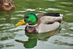 natação do Ele-pato Fotografia de Stock