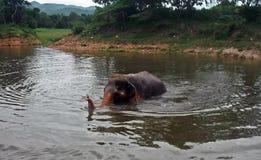 Natação do elefante Imagens de Stock Royalty Free