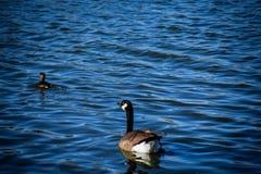 Natação do ganso de Canadá após um pato foto de stock