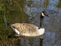 Natação do ganso de Canadá no rio Colne em Rickmansworth Aquadrome foto de stock royalty free