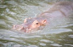 Natação do hipopótamo na água Fotos de Stock