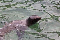 Natação do leão de mar Imagens de Stock Royalty Free