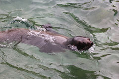 Natação do leão de mar Fotos de Stock