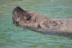 Natação do leão de mar de Steller Fotografia de Stock