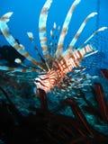 Natação do Lionfish na estrela de pena; Grande barreira Fotos de Stock Royalty Free