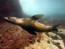 Natação do lobo-marinho foto de stock