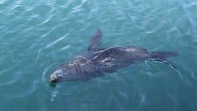 Natação do lobo-marinho do cabo foto de stock royalty free