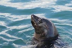 Natação do lobo-marinho do cabo na baía de Hout imagens de stock royalty free