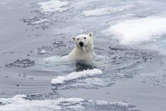 Natação do maritimus do Ursus do urso polar no mar ártico fotografia de stock royalty free
