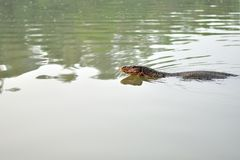 Natação do monitor de água na lagoa Fotografia de Stock