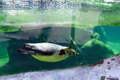 Natação do pássaro do pinguim fotografia de stock