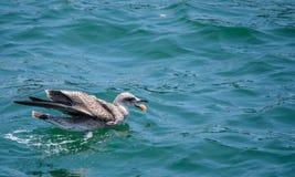 Natação do pássaro na água e comer com espaço na parte superior para o texto ou o logotipo Imagens de Stock