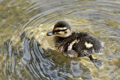 Natação do patinho do bebê na lagoa fotografia de stock royalty free