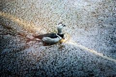Natação do pato através da lagoa foto de stock