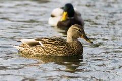 Natação do pato do pato selvagem no lago, um rebanho Imagem de Stock Royalty Free