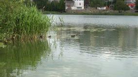 Natação do pato e do patinho no lago vídeos de arquivo