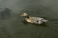 Natação do pato em um lago fotos de stock