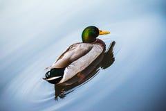 Natação do pato em um lago azul Fotos de Stock Royalty Free