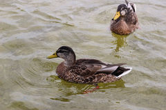 Natação do pato em uma lagoa Fotografia de Stock