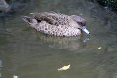 Natação do pato na lagoa Imagem de Stock Royalty Free