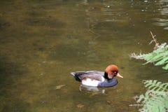 Natação do pato na lagoa Foto de Stock Royalty Free