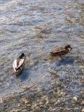 Natação do pato no lago Foto de Stock Royalty Free