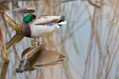 Natação do pato selvagem no lago Fotografia de Stock Royalty Free