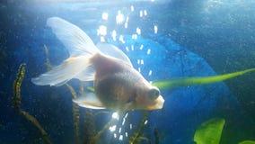 Natação do peixe dourado da panda da cauda do véu Fotos de Stock Royalty Free