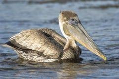 Natação do pelicano de Brown Imagem de Stock