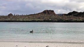 Natação do pelicano de Brown perto da praia da ilha chinesa do chapéu no parque nacional de Galápagos, Equador vídeos de arquivo