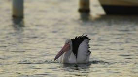 Natação do pelicano e extremidade contorcer-se vídeos de arquivo