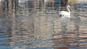 Natação do pelicano no Mar Egeu filme