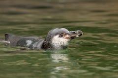 Natação do pinguim imagem de stock