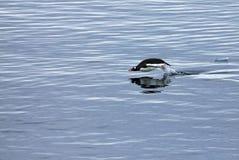 Natação do pinguim de Gentoo e salto na água espelhada, península antártica Foto de Stock Royalty Free