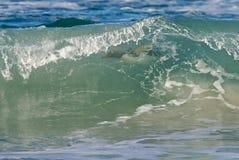 Natação do pinguim no oceano Imagens de Stock