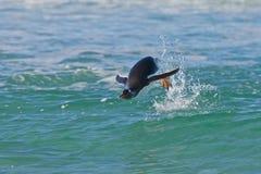 Natação do pinguim no oceano Fotos de Stock